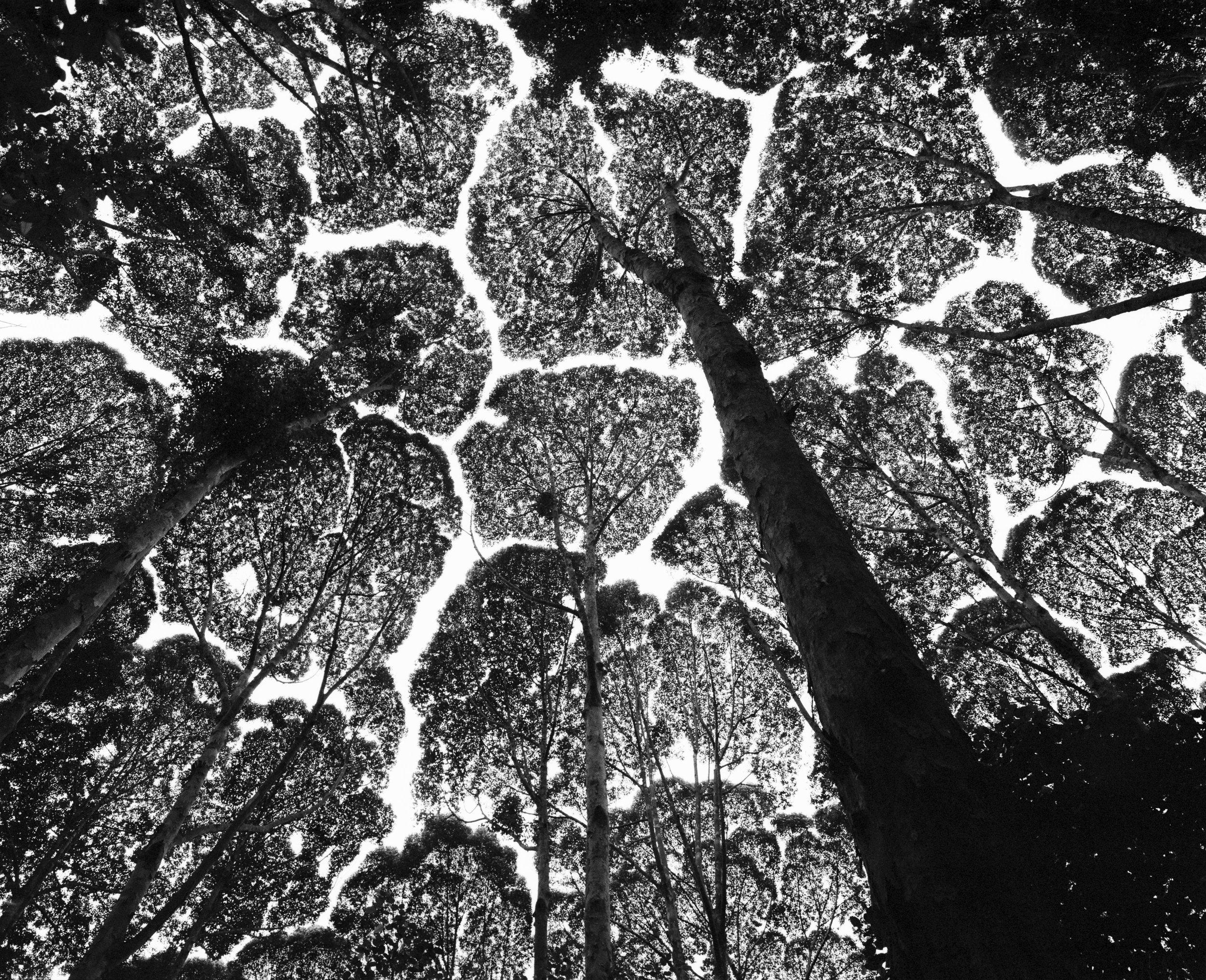 나무의 부끄럼(tree shyness)이라고도 불리는 수관의 상호 회피 현상