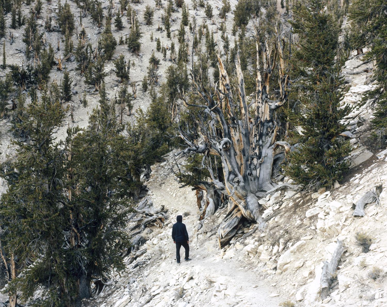 수령이 가장 오래된 브리슬콘 소나무가 자라는 므두셀라 숲