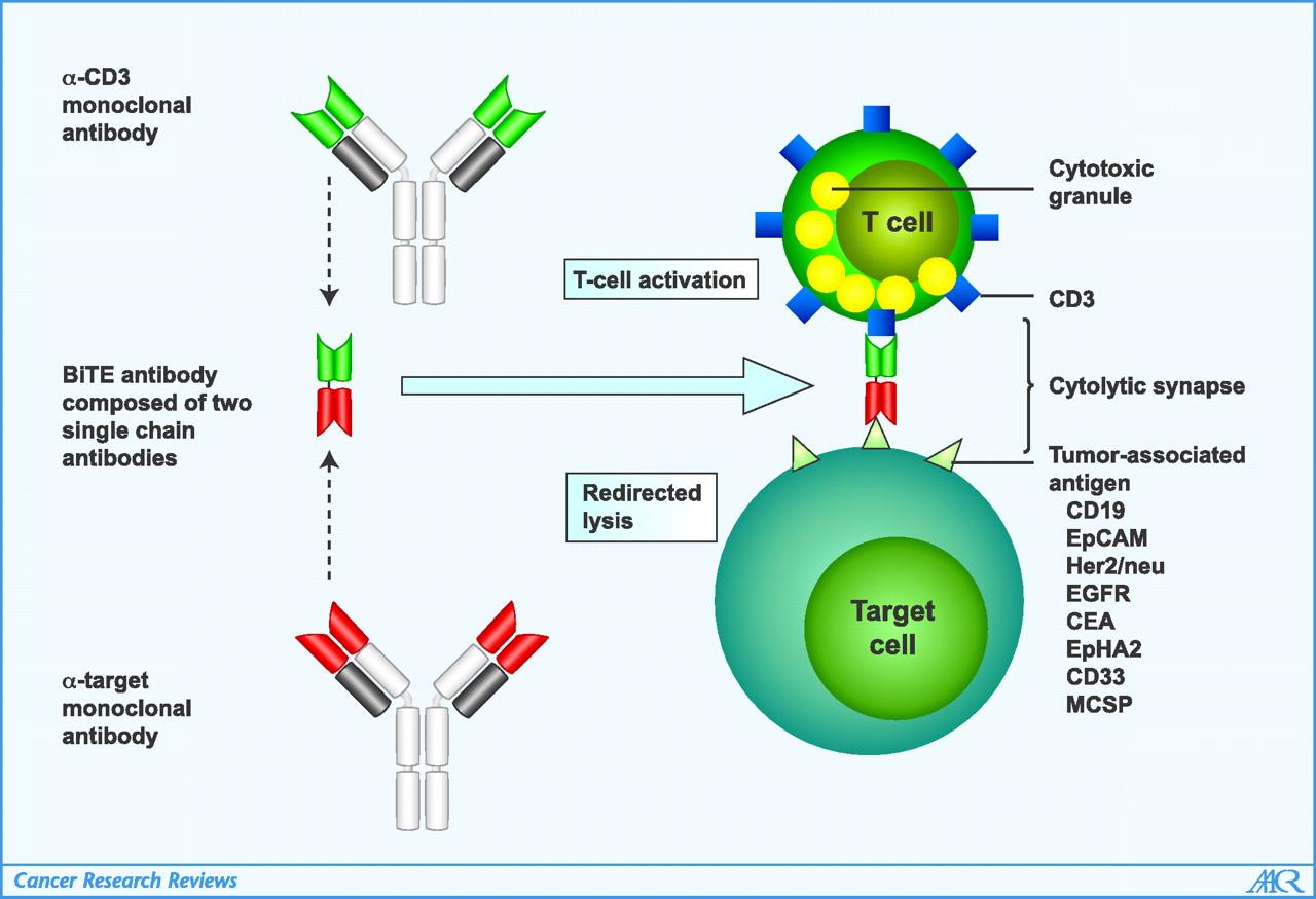 암 면역요법의 최전선: CAR T세포 vs 이중특이성항체