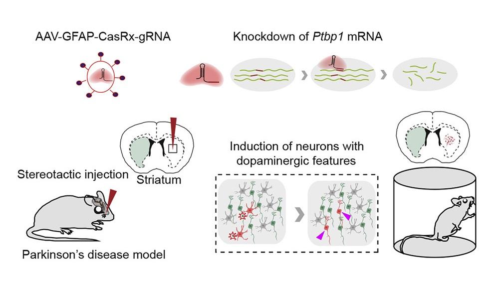 새로운 파킨슨병 치료 전략: 별아교세포를 뉴런으로 전환