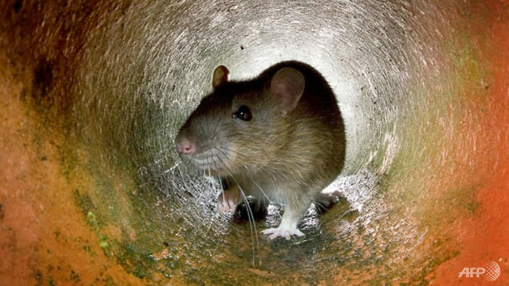 Rats are among the winners from our transformation of nature