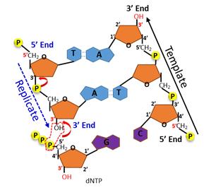 DNA 중합 반응의 방향성