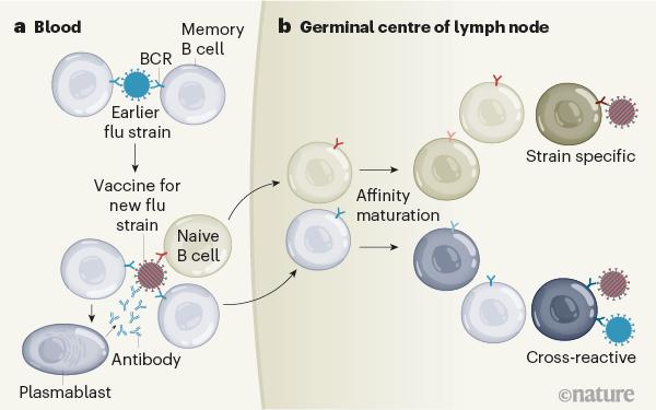마침내 밝혀진 인플루엔자 백신의 비밀: '미접촉 B세포'와 '기억 B세포'의 반응