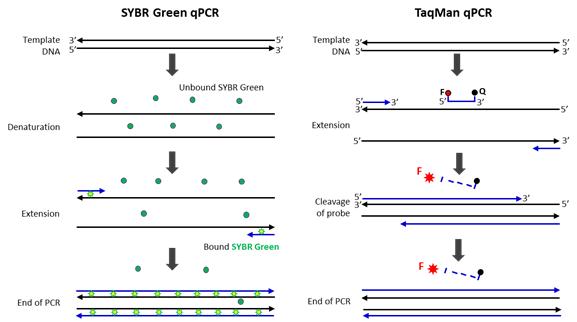 SYBR Green qPCR과 TaqMan qPCR 비교