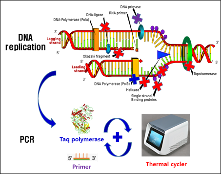 Figure 1DNA 복제 (Replication)와 중합효소 연쇄반응 (PCR) 비교