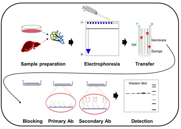 The processes of Western blot
