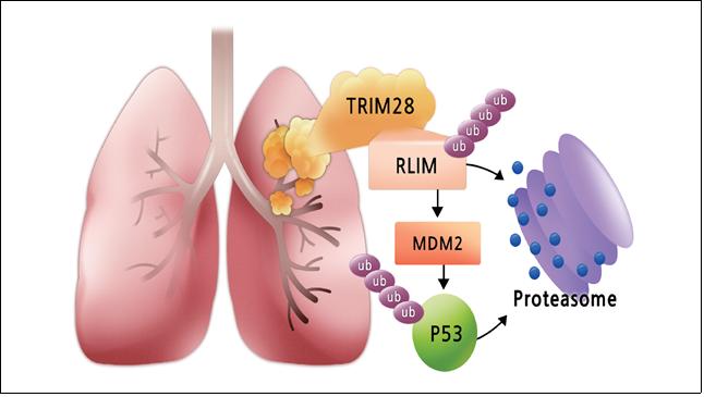 정상폐와 폐암에서의 TRIM28-RLIM-MDM2-p53의 연속적인 조절 메커니즘