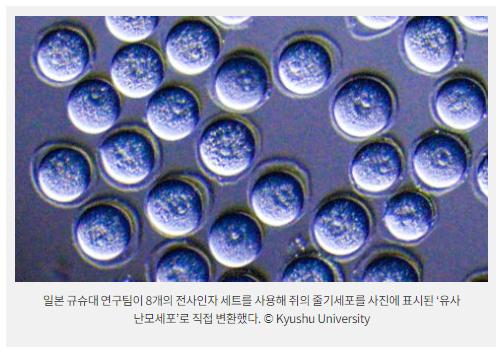 일본 규슈대 연구팀이 8개의 전사인자 세트를 사용해 쥐의 줄기세포를 사진에 표시된 '유사 난모세포'로 직접 변환했다