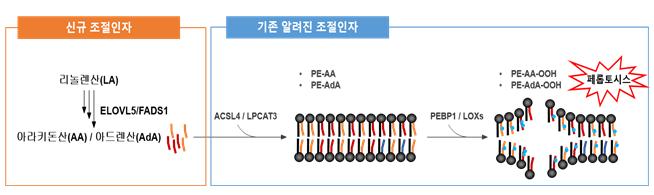 다중불포화지방산 합성경로 및 지질과산과에 의한 페롭토시스 세포 사멸 기작
