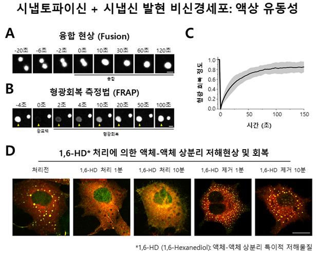 세포내 액체-액체 상분리현상 증명 실험