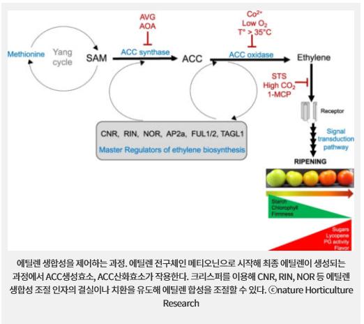 에틸렌 생합성을 제어하는 과정. 에틸렌 전구체인 메티오닌으로 시작해 최종 에틸렌이 생성되는 과정에서 ACC생성효소, ACC산화효소가 작용한다