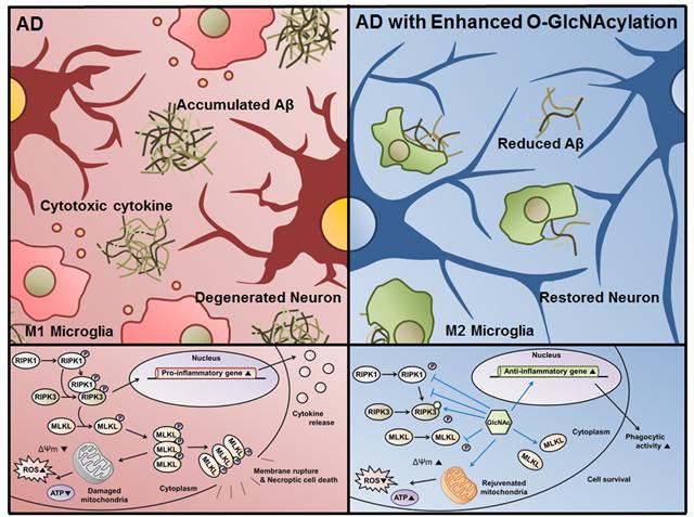 알츠하이머 치매에서 오글루넥당화 회복에 따른 세포괴사 조절 기전