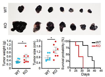 Transgelin-2가 결핍된 실험쥐의 종양제어능 약화 검정