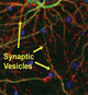Monitoring neurite morphology and synapse formation in primary neurons for neurotoxicity assessments and drug screening